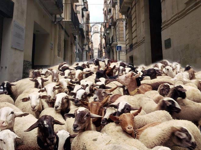 El Ayuntamiento realiza pruebas de estrés con animales domésticos en la calle San Francisco y en otros puntos del centro histórico de la ciudad con el objetivo de que Alcoy pase a formar parte de la Cañada Real de Valencia