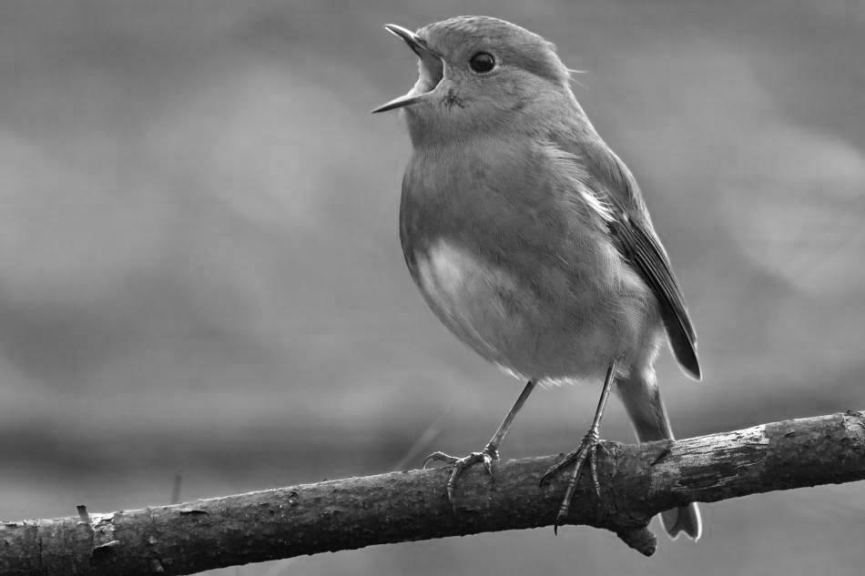 Las aves de Font Roja y Mariola deciden emigrar permanentemente de los parques